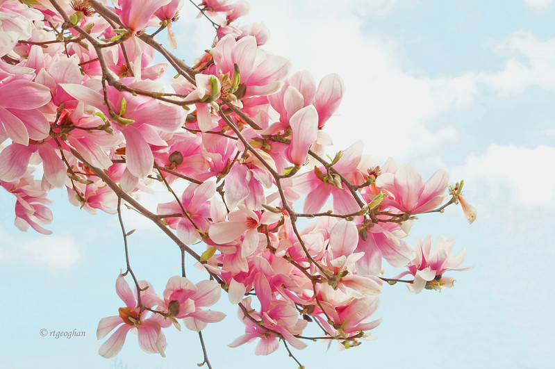 Mar 22_Pink Magnolia Branches_0280.jpg