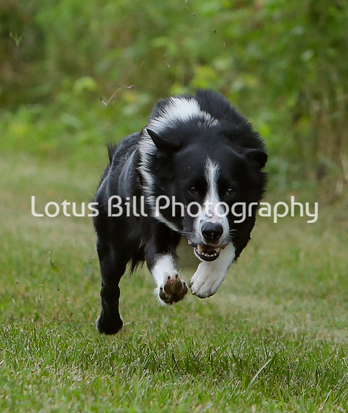 Dubai Black Bi Smooth Border Collie SR2