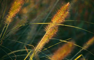 Pennisetum alopecuroides 'Herbstzauber'