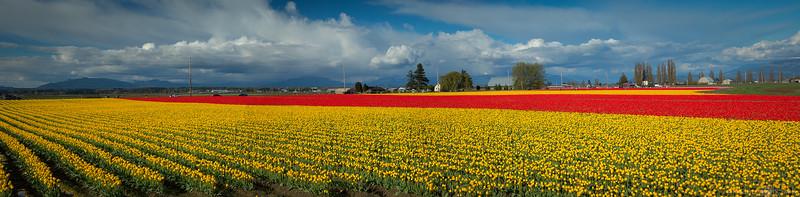 Tulip fields - Skagit Valley Tulip Festival