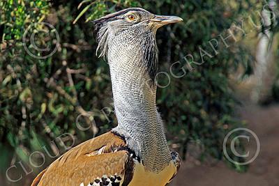 East African Kori Bustard Wildlife Photography