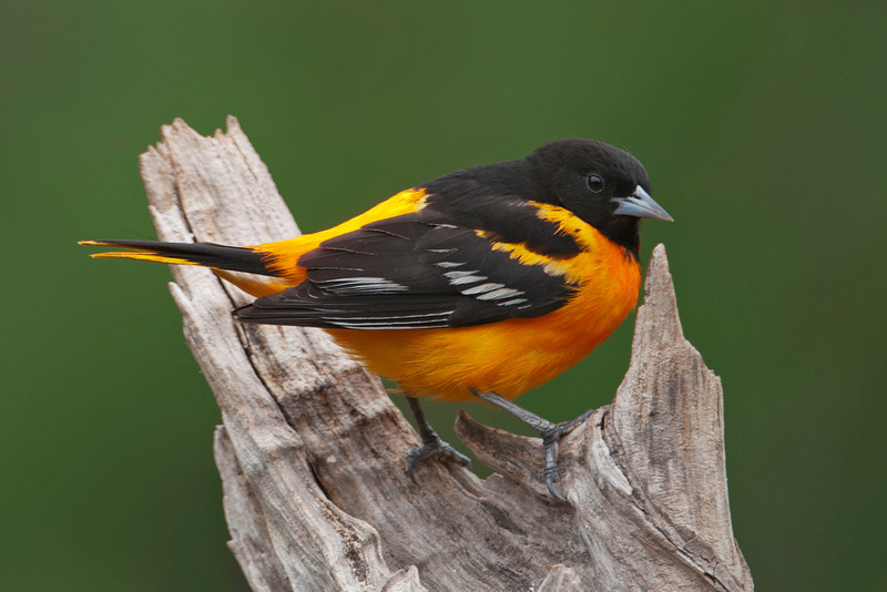 Oriole - Baltimore - male - Dunning Lake, MN - 12