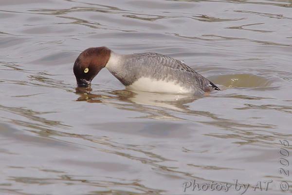 2006-12-16 Riverlands Migratory Bird Sanctuary