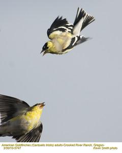 AmericanGoldfinches5757.jpg