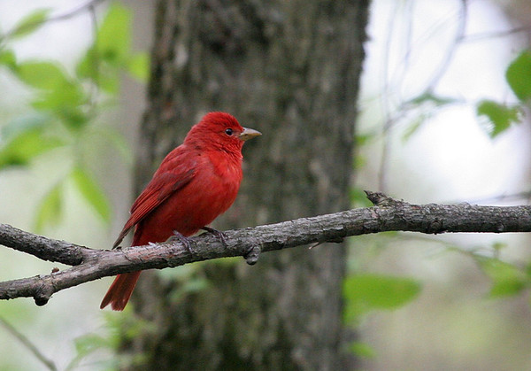 Summer Tanager and Baltimore Oriole