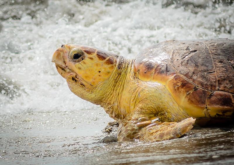 Wildlife - Sea Turtles, Birds, etc.