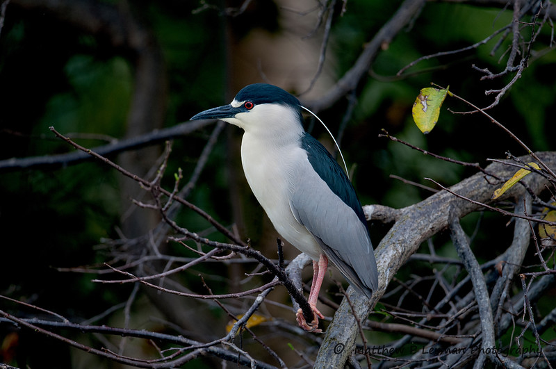 Black Crowned Night Heron_5589.jpg