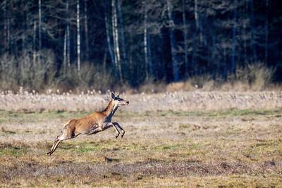 Hjort (Red Deer)