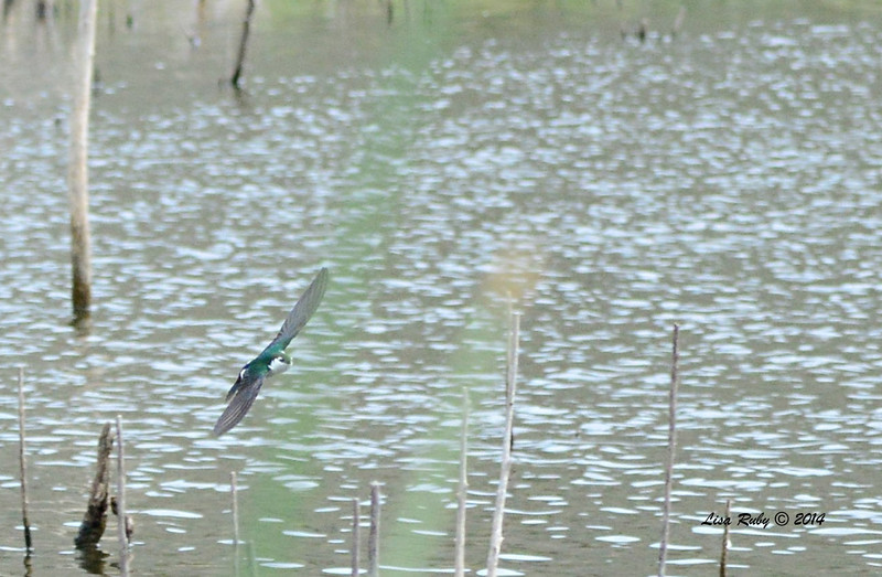 Violet Green Swallow - 4/4/14 - Lake Hodges near Lake Shore Drive