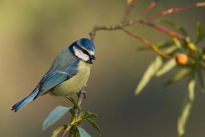 Blue tit (Herrerillo común)