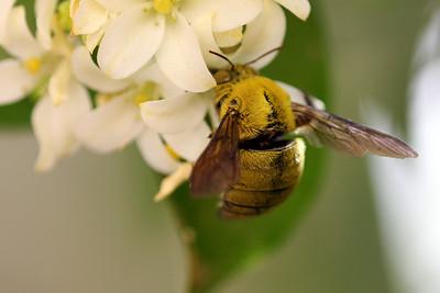 Canary Carpenter Bee