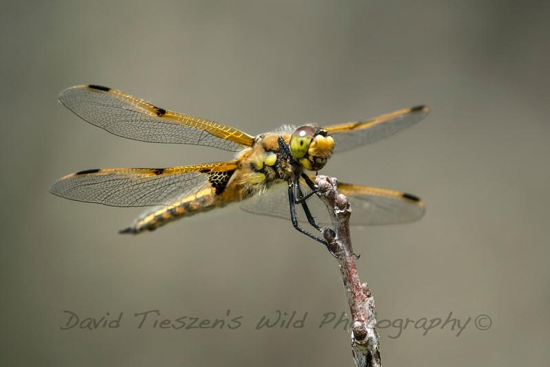 S_Dragonfly_GM1A2275.jpg