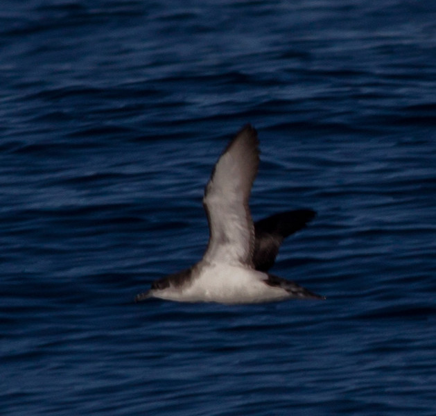 Manx Shearwater  Orange County Pelagic  2013 01 12 (8 of 8).CR2