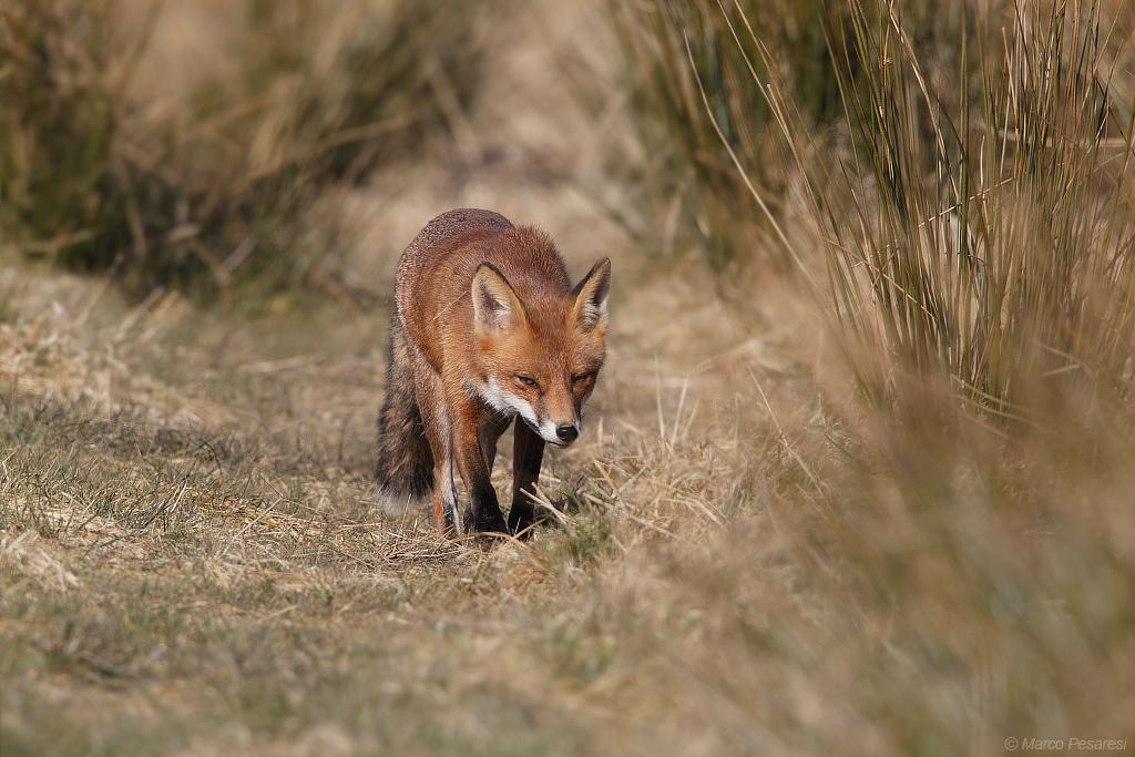 3. Red Fox