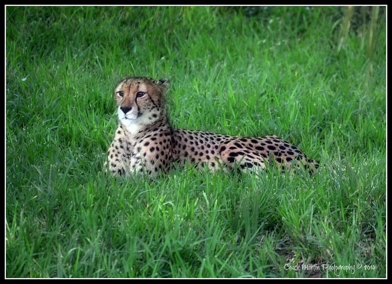 One of 2 Cheetahs at The Jax Zoo