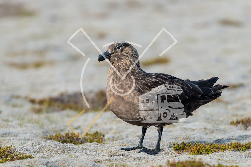 Great Skua on land at Iceland