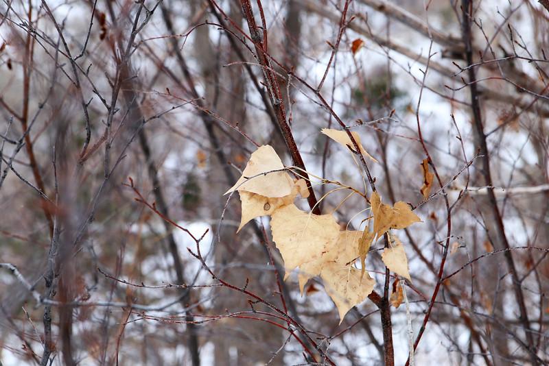 WinterAspen.jpg