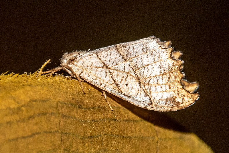 Hooktip-Two-lined-(Drepana bilineata)- Dunning Lake - Itasca County, MN