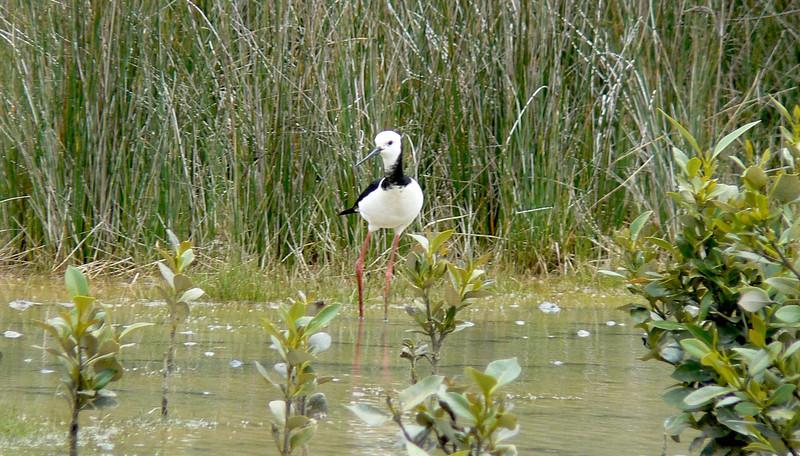 5White-headedStilt746 Nov. 21, 2009 12:51p.m.  P1050746 White-headed (also called Black-winged) Stilt, Himantopus leucocephalus