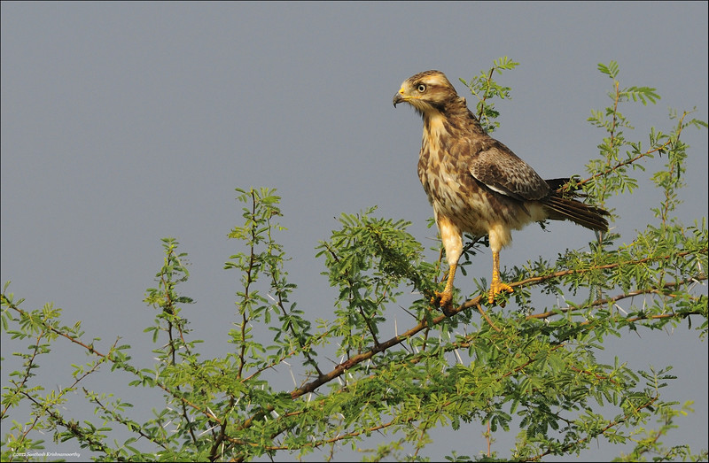 White-eyed-Buzzard-01.jpg