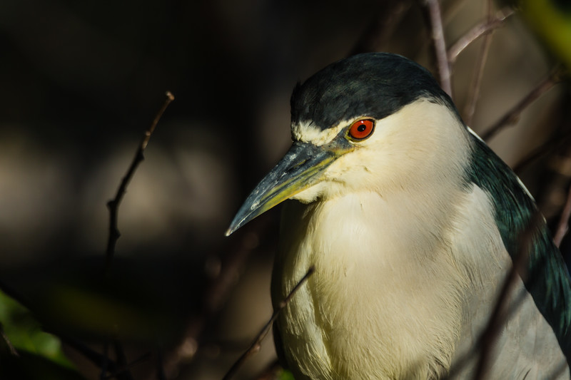 A black-crowned night-heron is illuminated by the morning sun at Wakohatchee Wetlands in  Delray Beach, Florida on Friday, February 26, 2016. (Joseph Forzano / The Palm Beach Post)