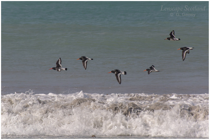 Oystercatchers, Traigh Hough 2