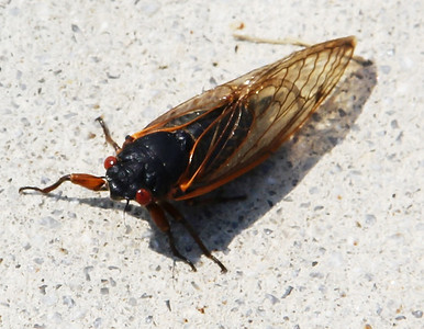 Cicada, Bug, Elementary School, Tamaqua (6-25-2013)