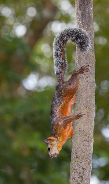 VARIGATED SQUIRREL 2 - EDITED.jpg