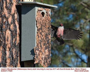 Lewis'WoodpeckerA77684.jpg