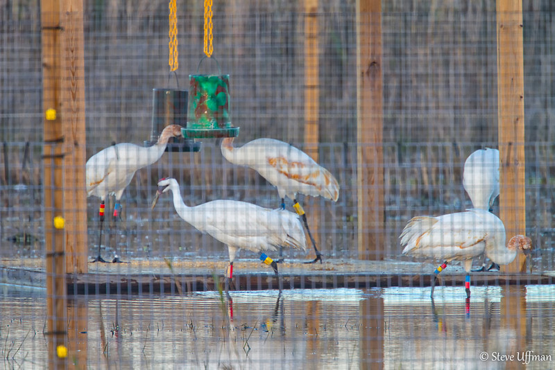 20120207-_MG_2583Whooping_Cranes_White_Lake-Edit.jpg