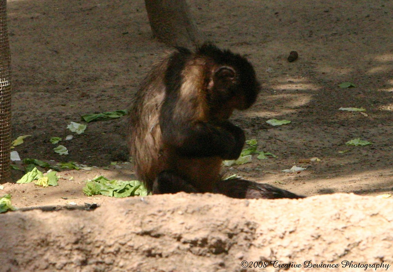 Brown Capuchin15.jpg