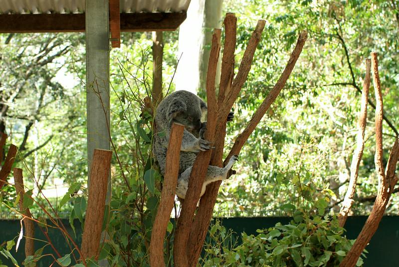 Finally some koalas!