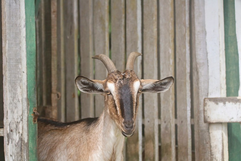 Goat in a Pen with a wood background