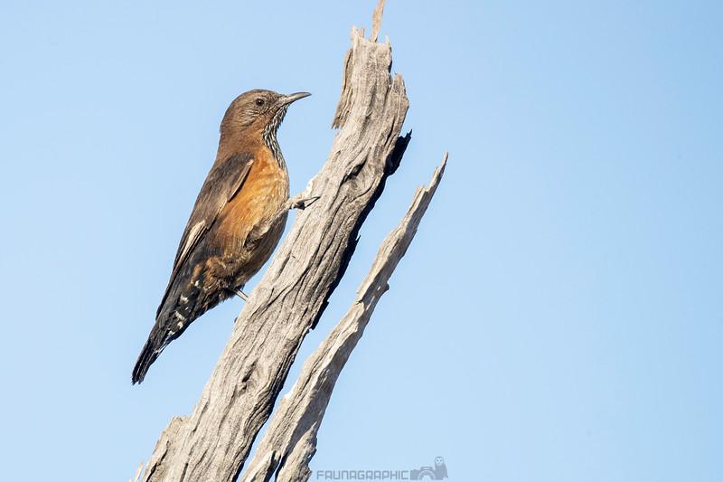 Black-tailed Treecreeper