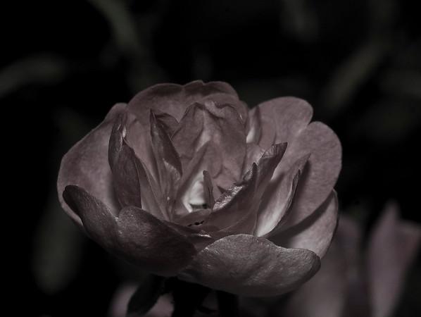 metallic rose