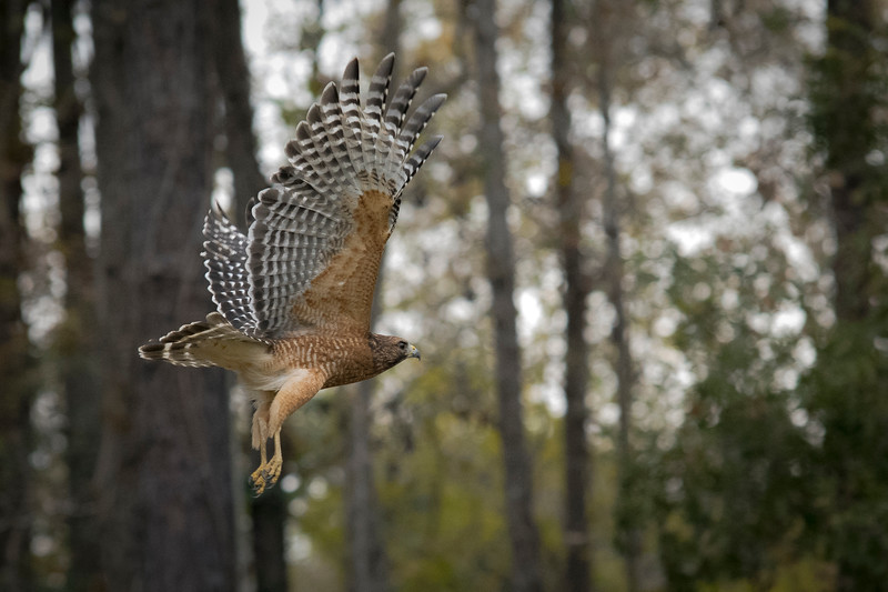 MMG_Red Shouldered Hawk Mount Pleasant SC_9.jpg