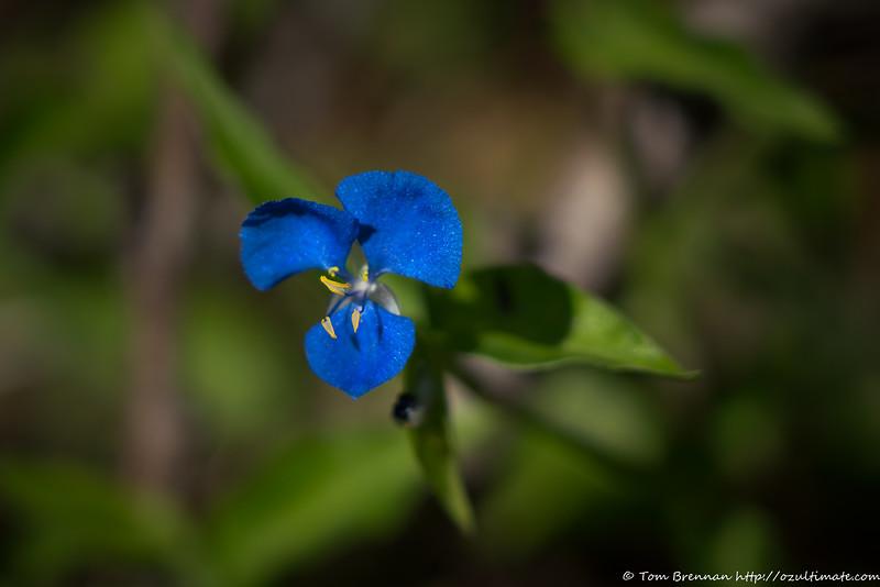 Commelina cyanea (Scurvy Weed)