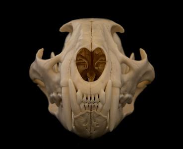 Skulls / Osteology