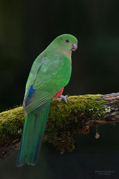King Parrot, f, Bangalee, NSW, Jul 2014.jpg