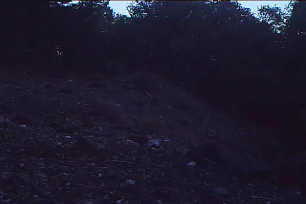 Mule Deer Doe 545 PM.AVI