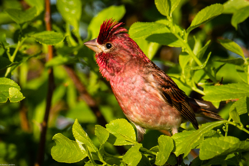 The Crested Purple Finch?