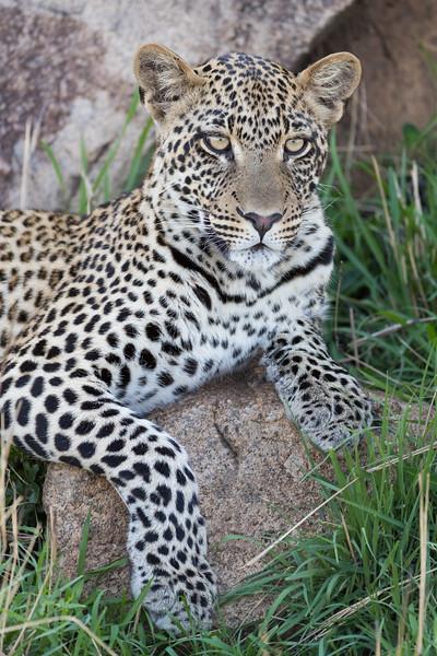 Leopard Headshot -_.jpg