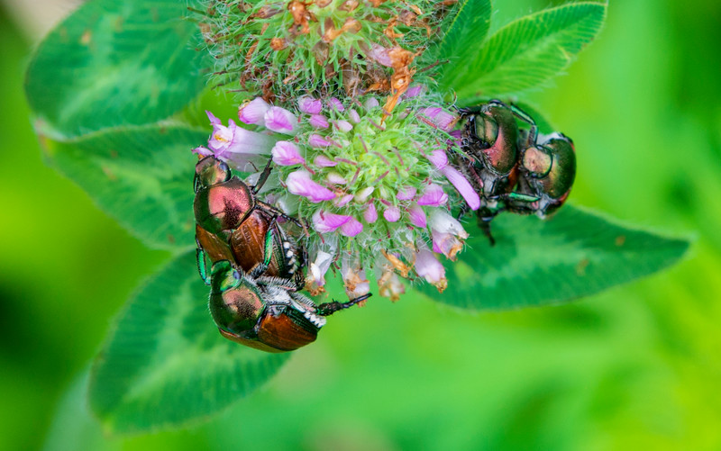 June-beetles-clover.jpg