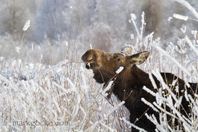 moose189-mg.jpg