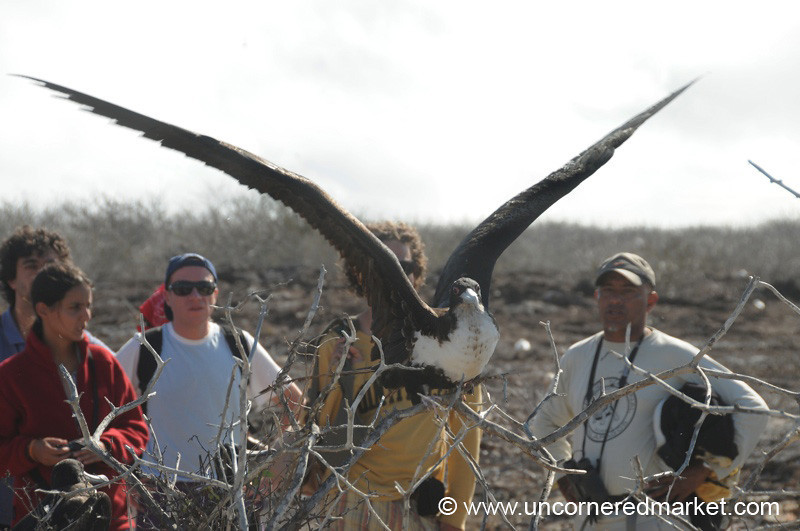 Stretching Wings - Galapagos Island