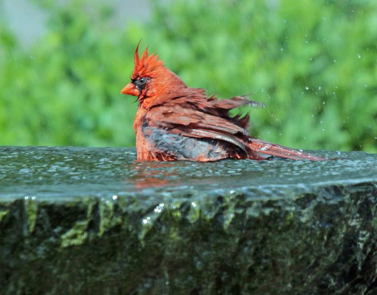 Bathing cardinal 2