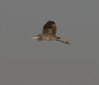 Riuttahaikara (Egretta gularis)