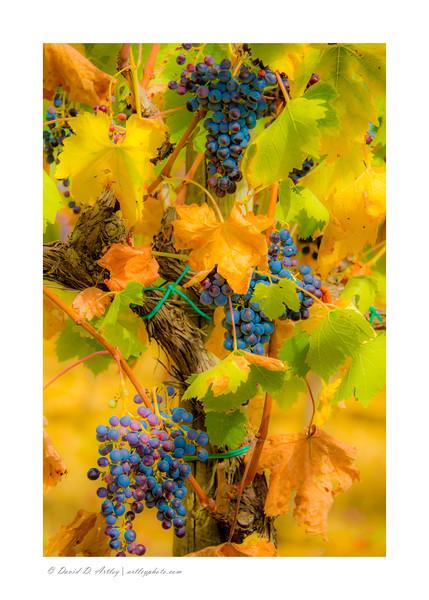 Grapes on the vine, near Volterra, Tuscany, Italy
