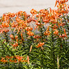 Tiger Lily garden in now in full bloom
