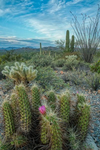 Organ Pipe Cactus 2020-12.jpg